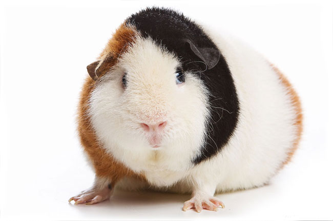 Diseases of guinea pigs