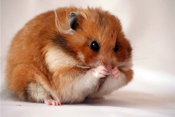How to choose a hamster?