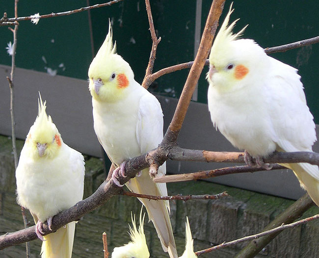 The content of the parrots of Corella